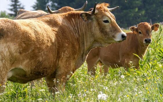 Cow infertility