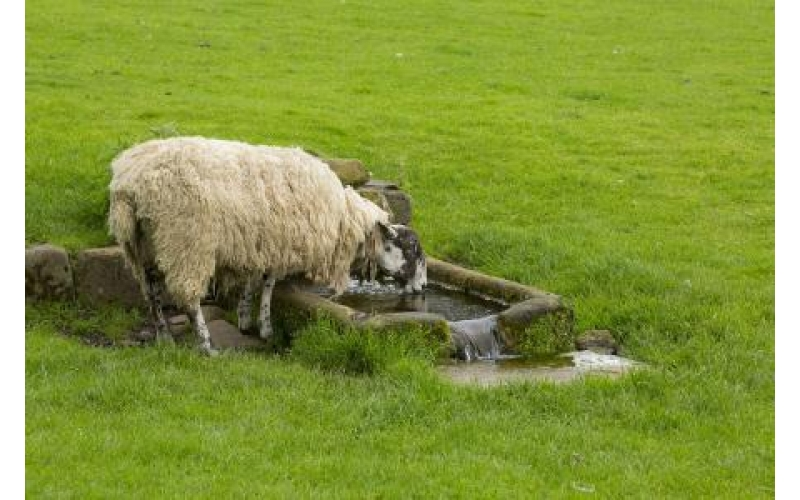 Pay attention to these points when sheep drinking water in spring