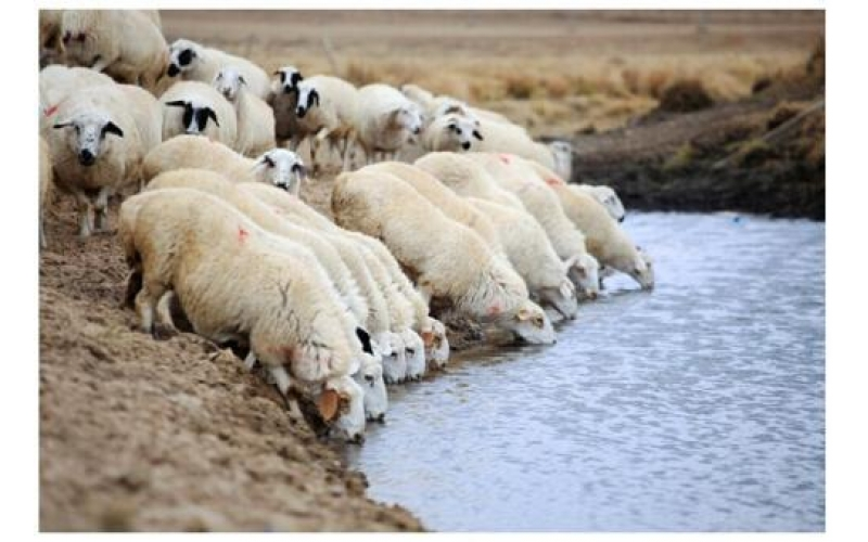Nine Taboos for Sheep Drinking Water in Spring